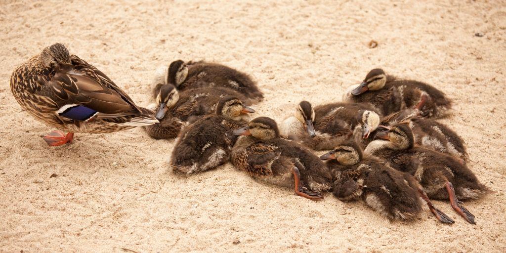Group of Baby Ducks Sleeping