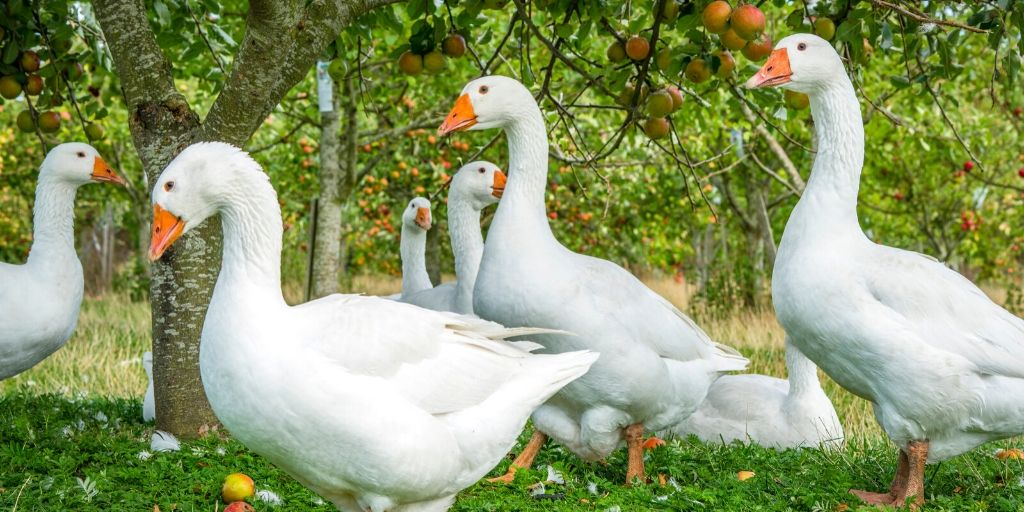 white goose names, white geese in an orchard