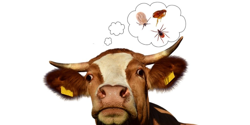 Cow With Different Types of Ticks