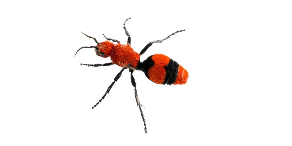 eastern velvet ant a cow pest