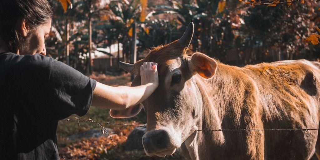 Women touching cow