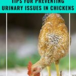 pinterest image, tips for preventing urinary issues in chickens
