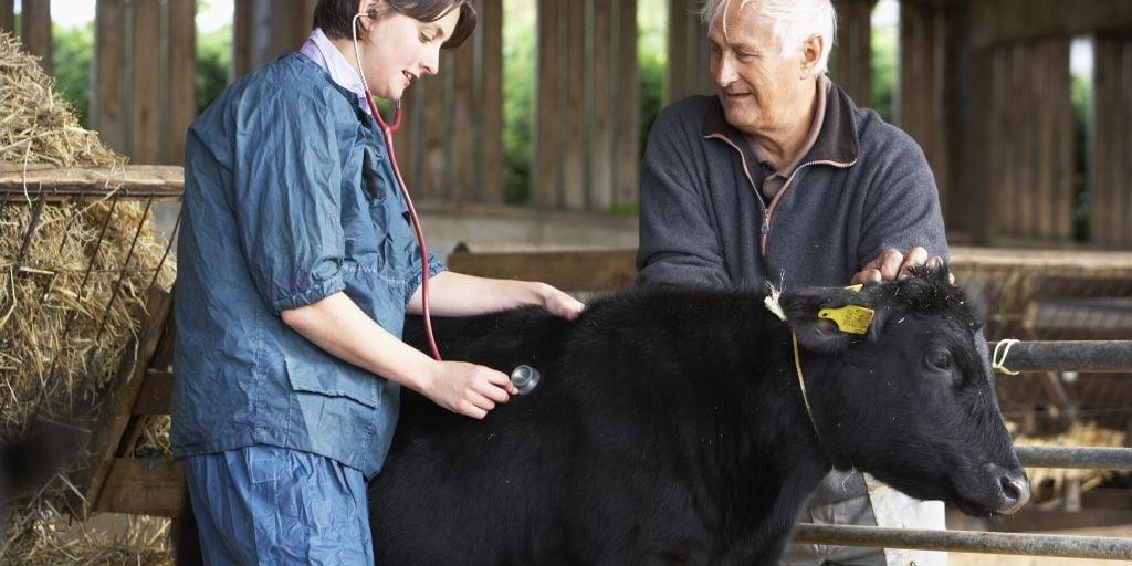 vet examining a sick cow