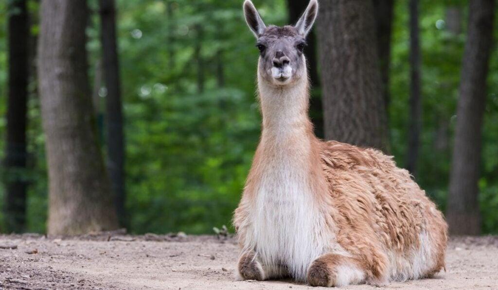 llama laying down digesting food