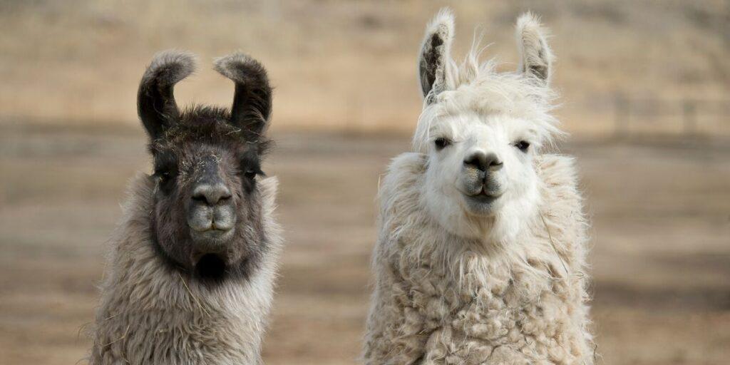 two llamas looking at the camera