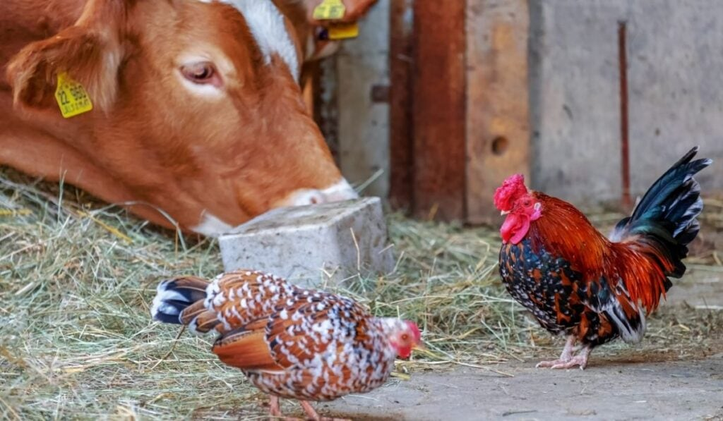 Cow and Chickens in the Farm