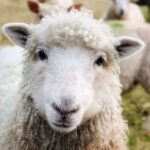 Why Do Sheep Need To Be Sheared?