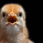 List of Reasons Your Chicks are Chirping (And What to do about it)