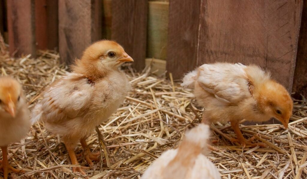 baby chicks in a brooder