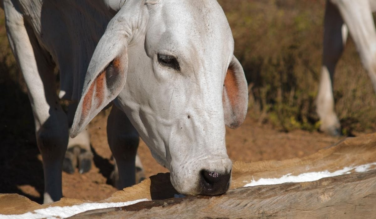 cow eating salt in the farm