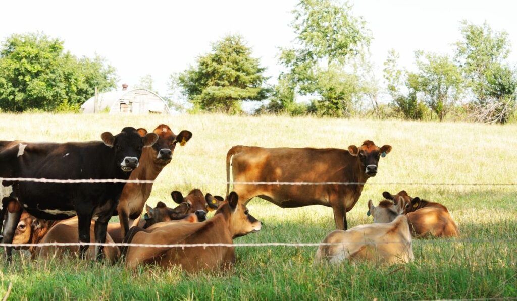 Cows Inside Wire Fence