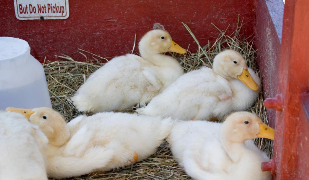 ducklings in a brooder