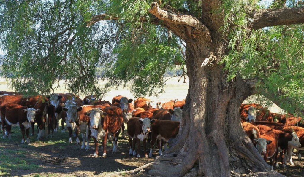 herd of cows cooling down under a tree
