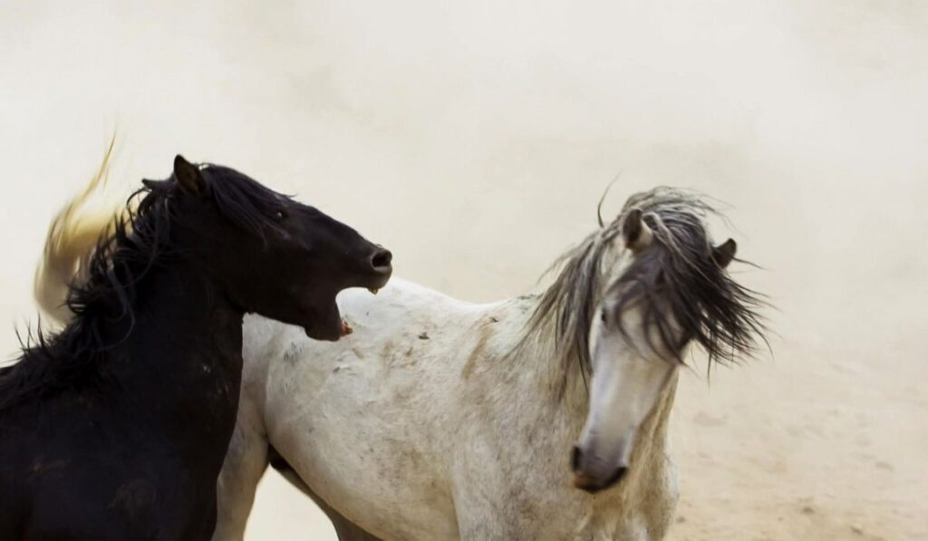 horse biting fight