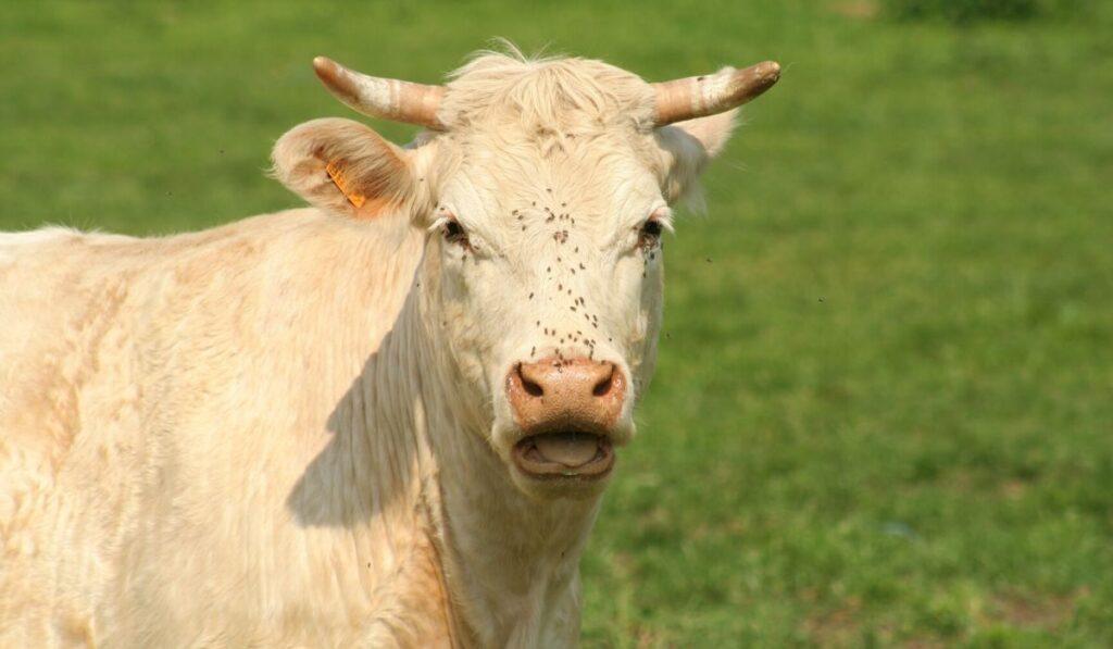 hot cow panting