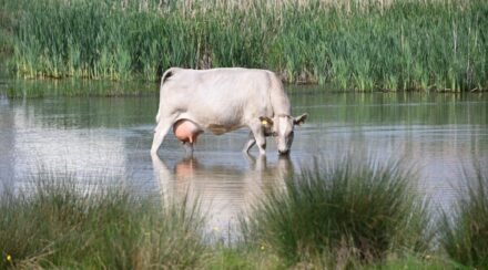 mama cow cooling down in a river