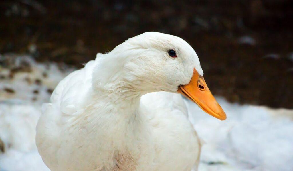 pekin duck in the snow