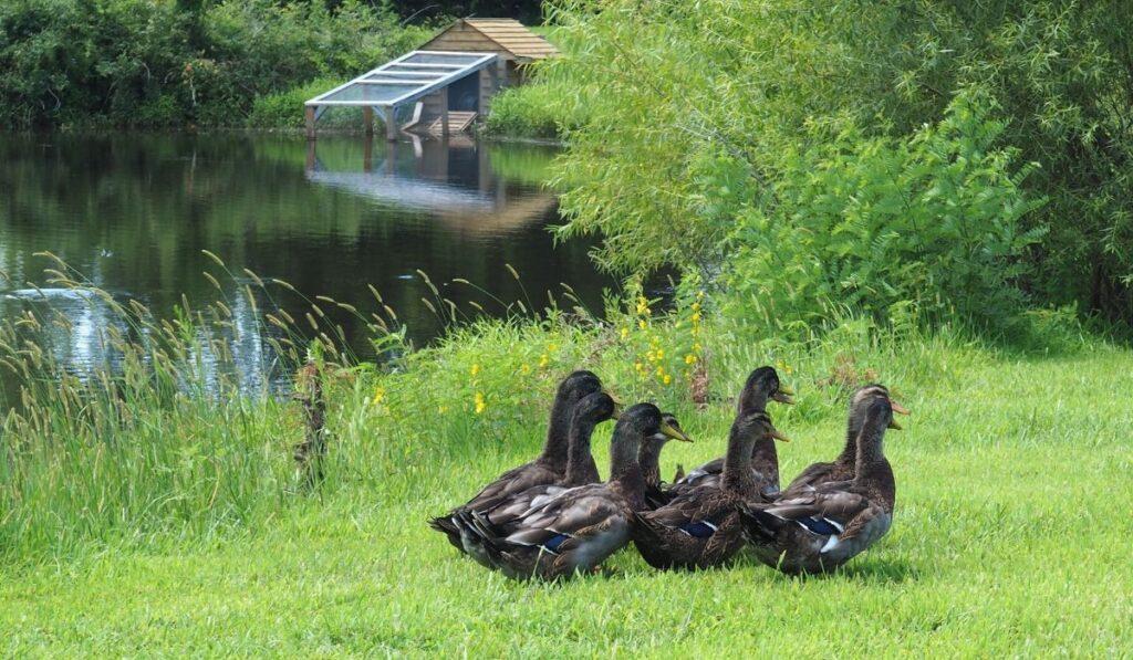 rouen ducks on a farm