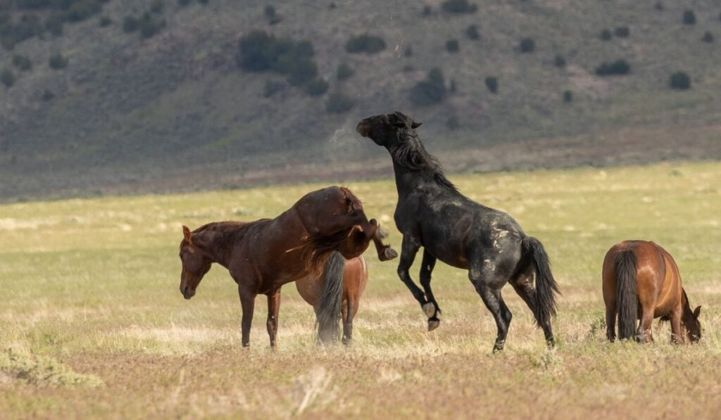 wild horse kicking fighting