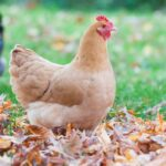 An Ultimate Guide to Yellow Chicken Breeds