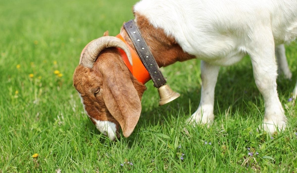 Boer Goat Eating Grass in the Field