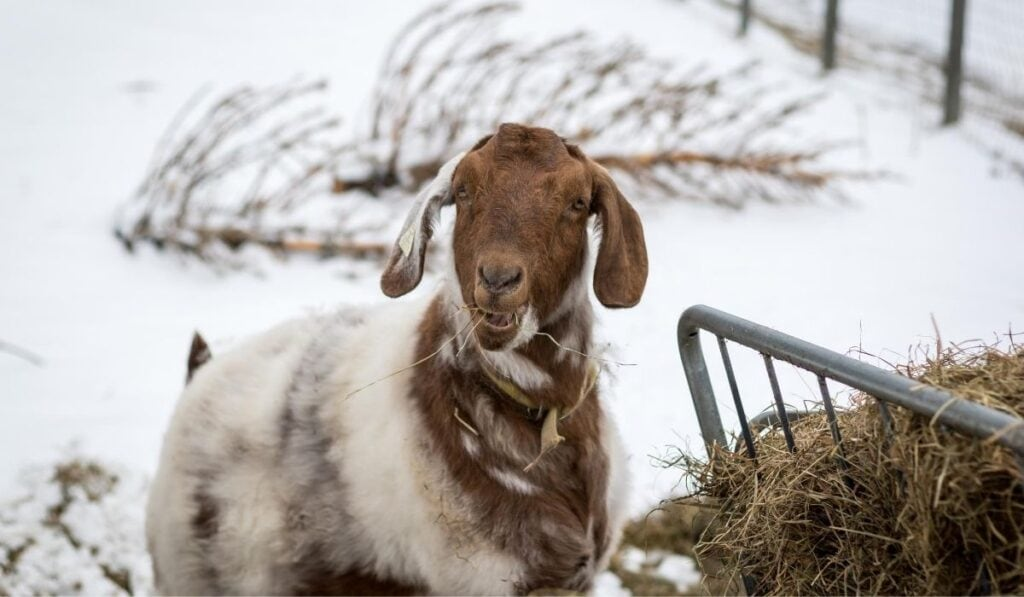 Boer-goat-eating-hay-outside-in-winter