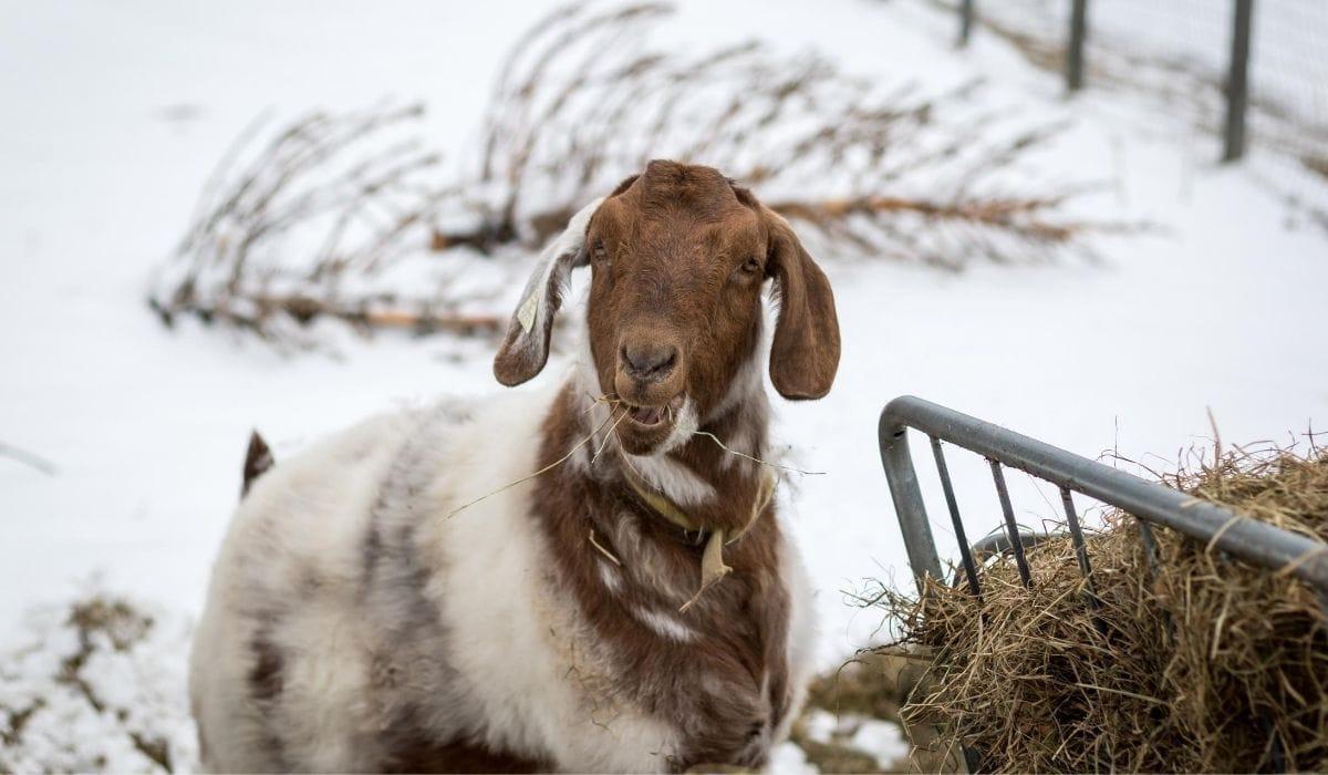 Boer Goat Eating Hay Outside in Winter
