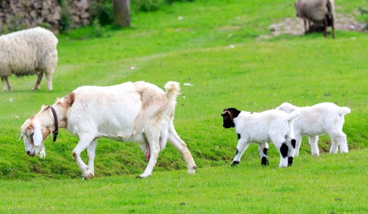 Boer Goat Mother and Babies
