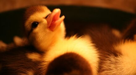 Tips for Raising Ducklings Without a Heat Lamp