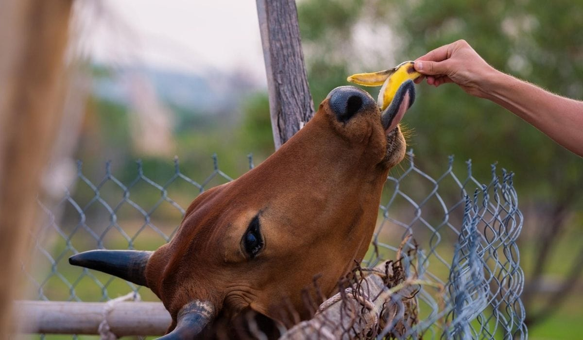 banana being feed to cow