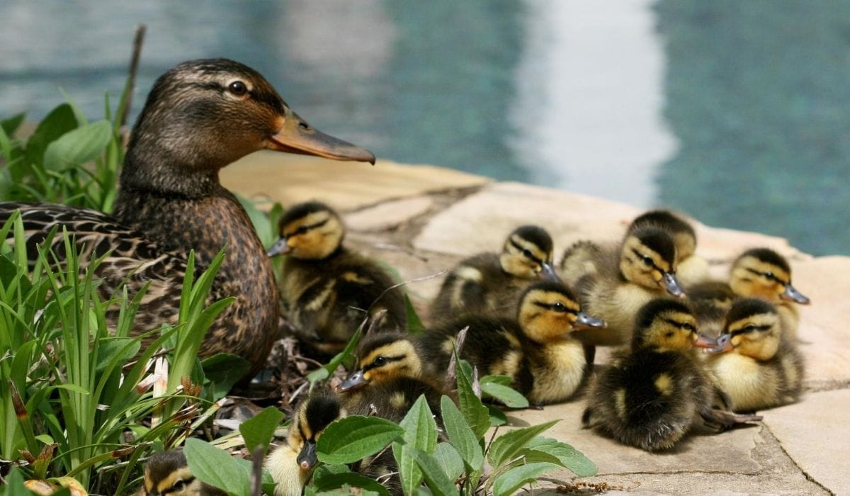 brood and mother duck
