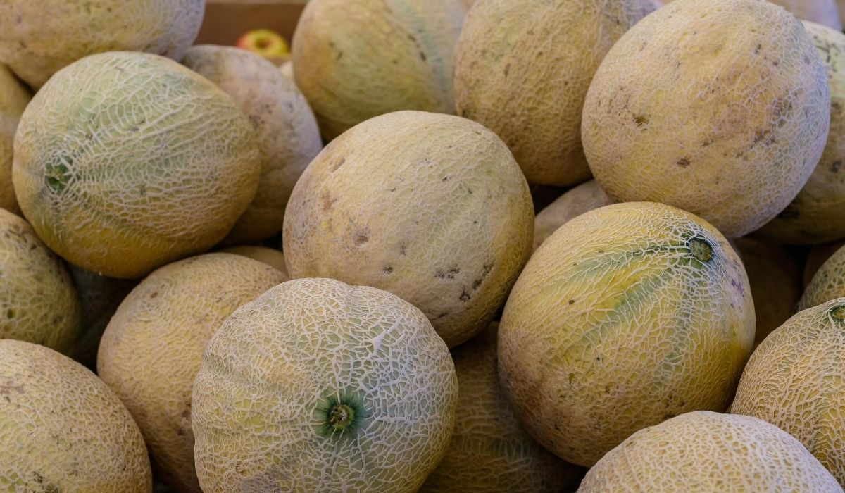 cantaloupes in a pile ready to be prepared for goat treats