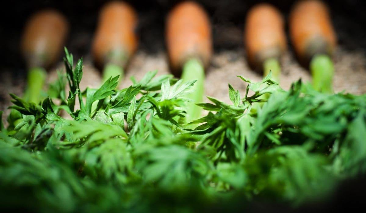 carrots tops