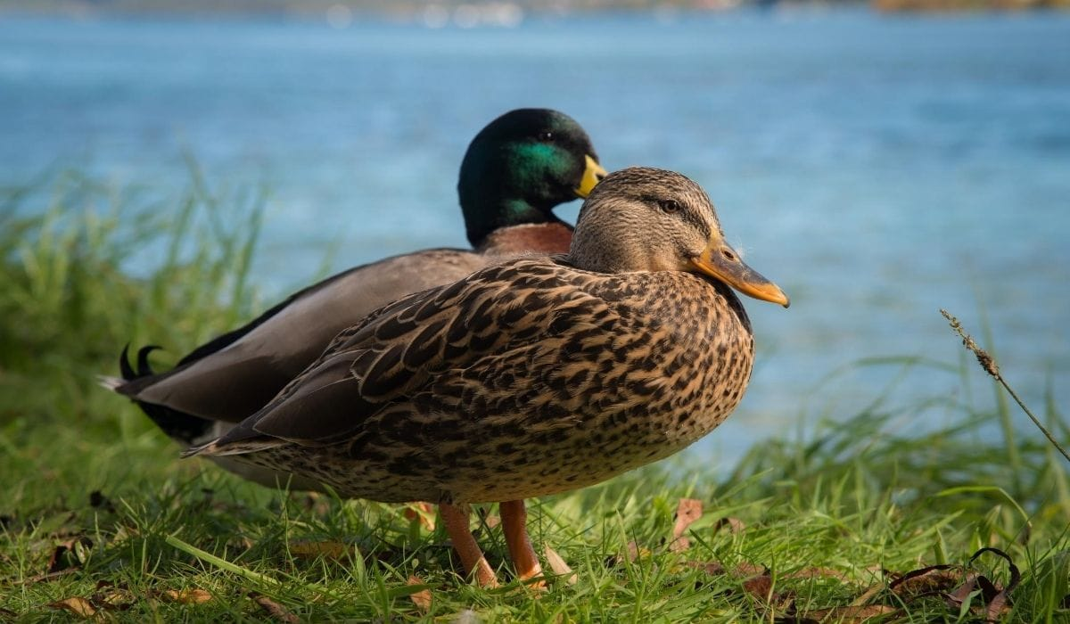 couple ducks
