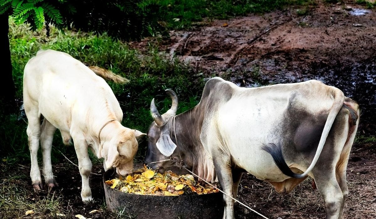 cows eating fruit peels