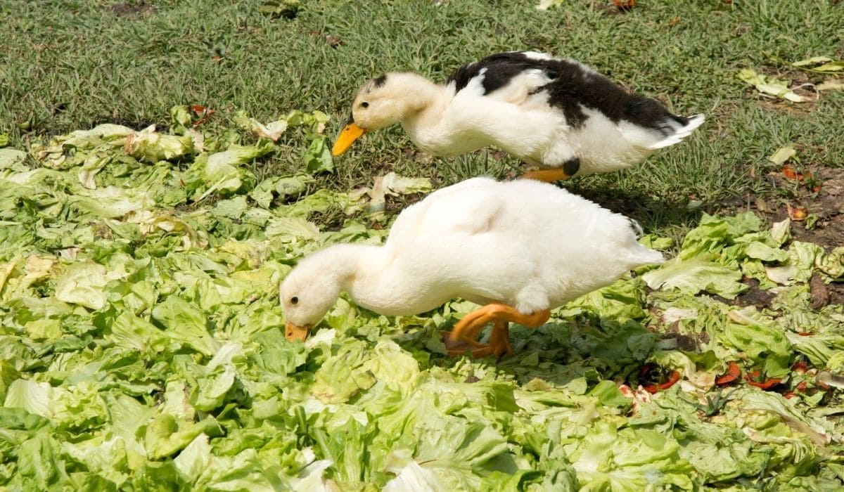 duck eating cabbage