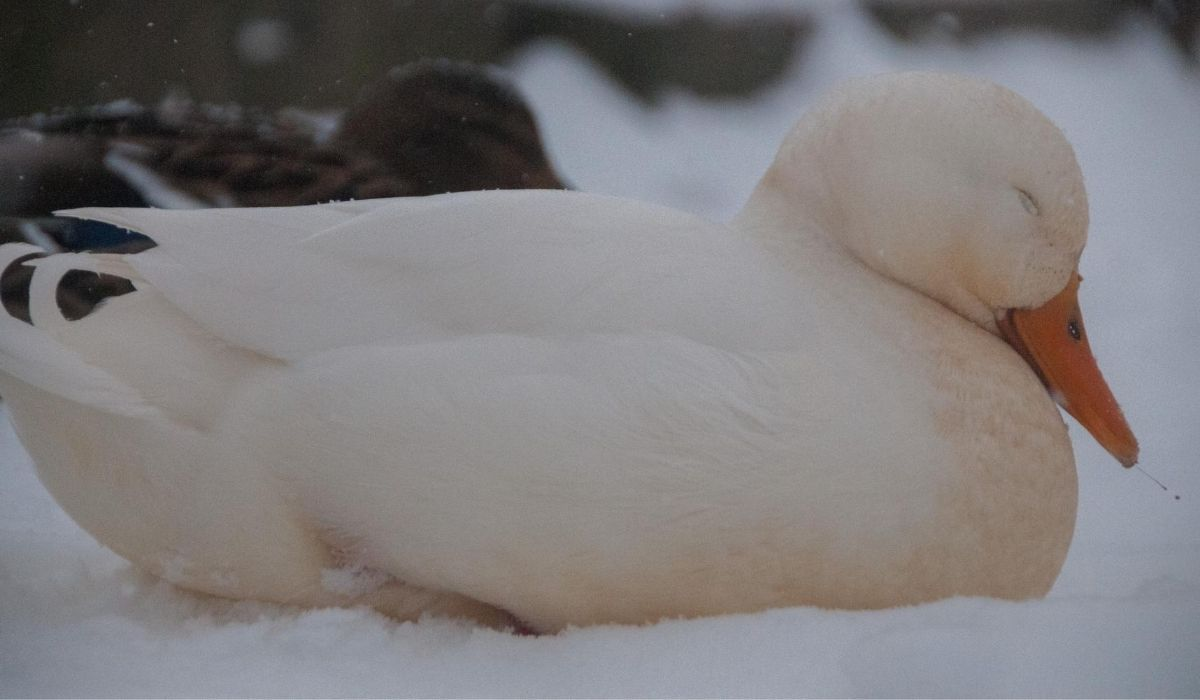 duck sleeping out in the winter