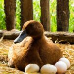 Will ducks sit on dead eggs? +11 Other Fun Facts