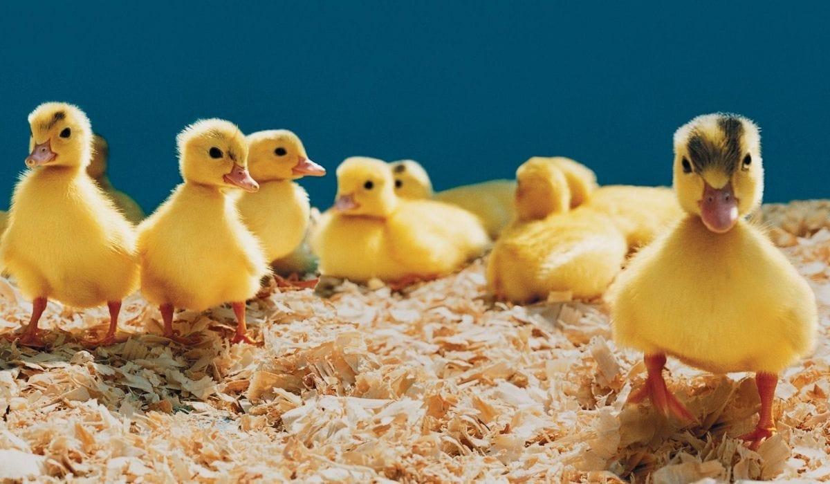 duckling in dry wood sawdust