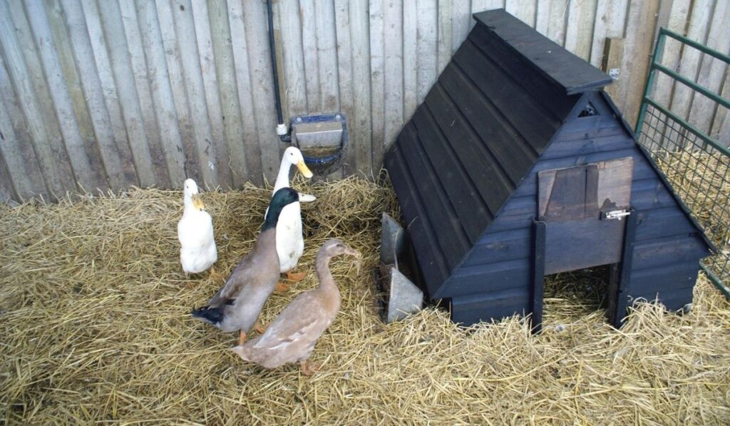 ducks and  duck house