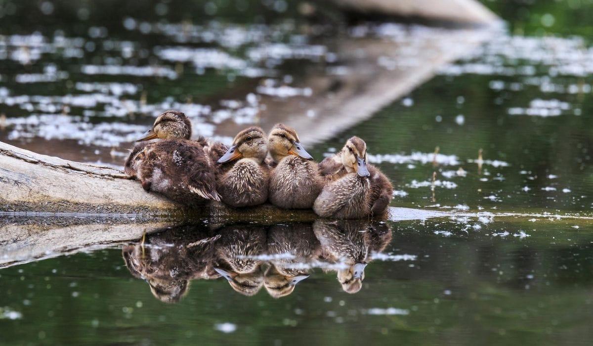 ducks huddling together