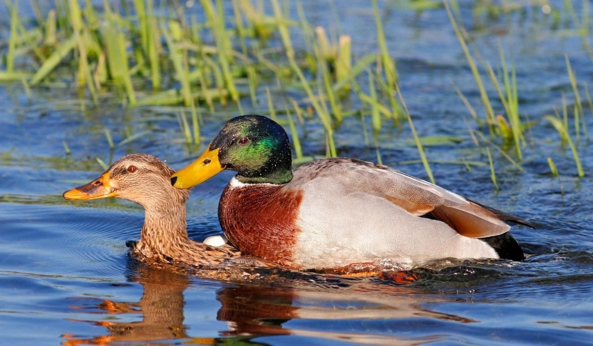 ducks mating in water