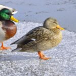 What Temperature is Too Cold for Ducks?