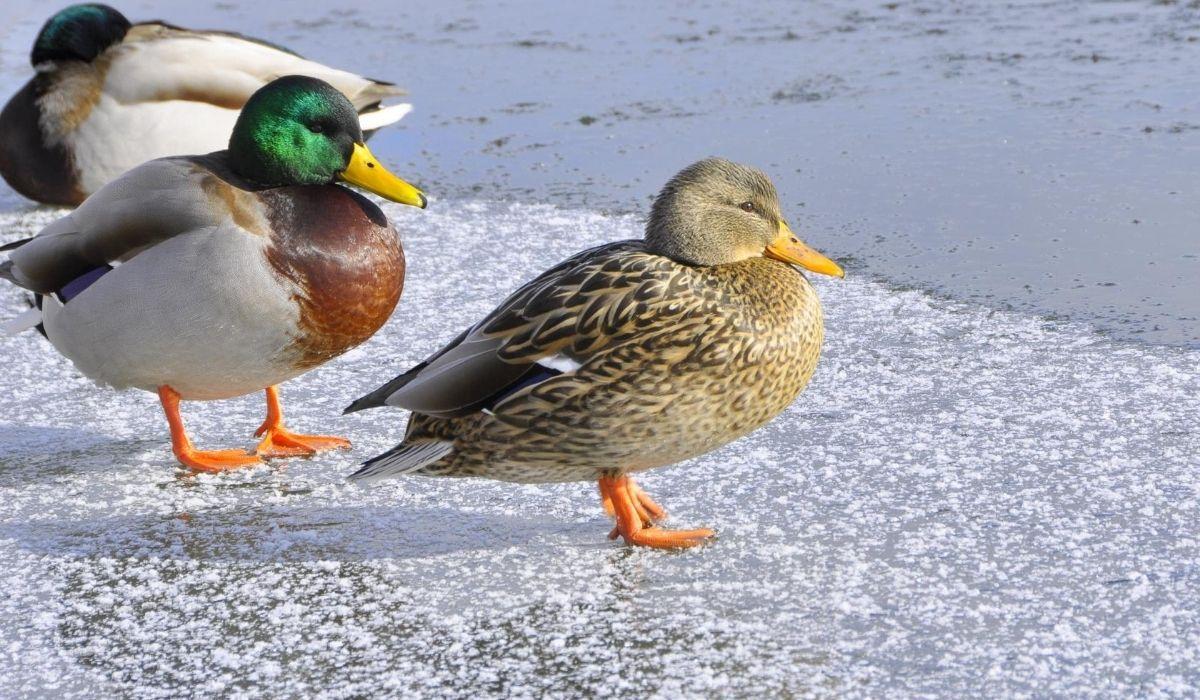 ducks standing in frozen lake