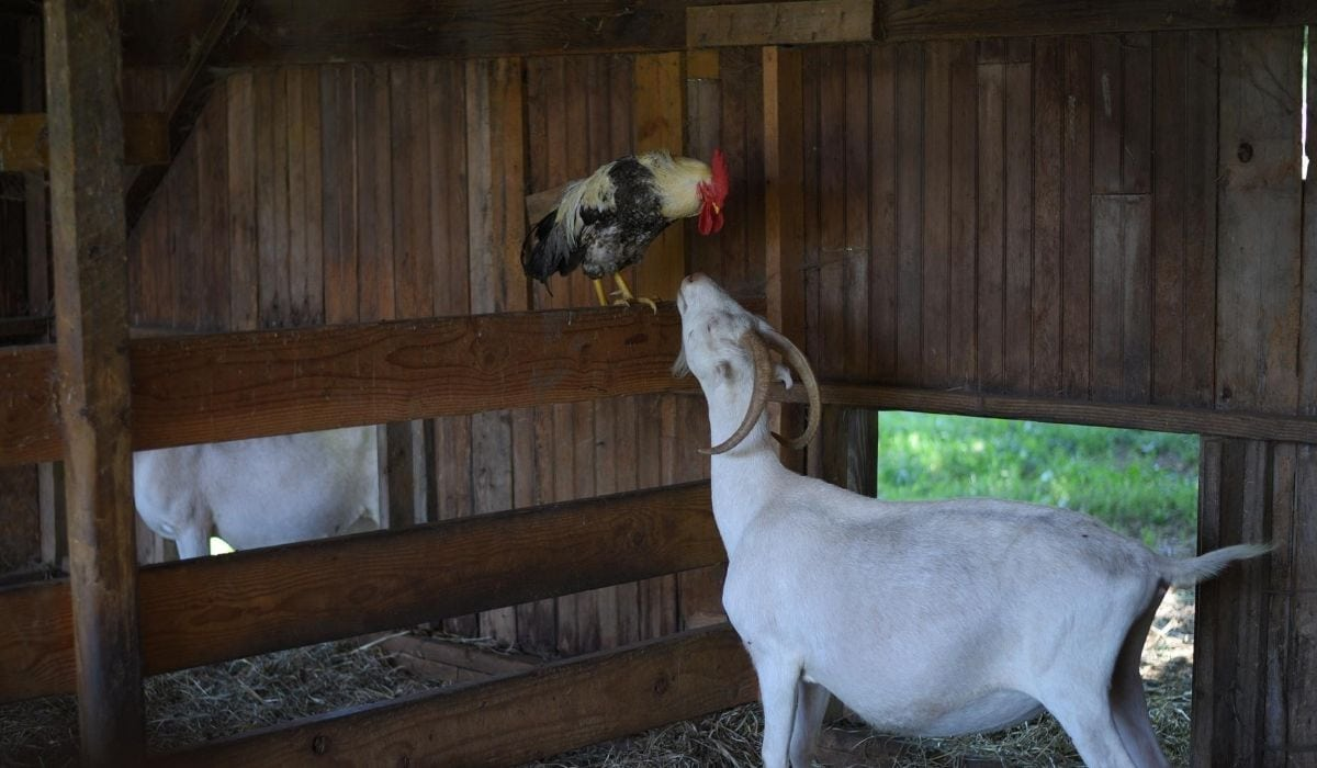 goat and chicken