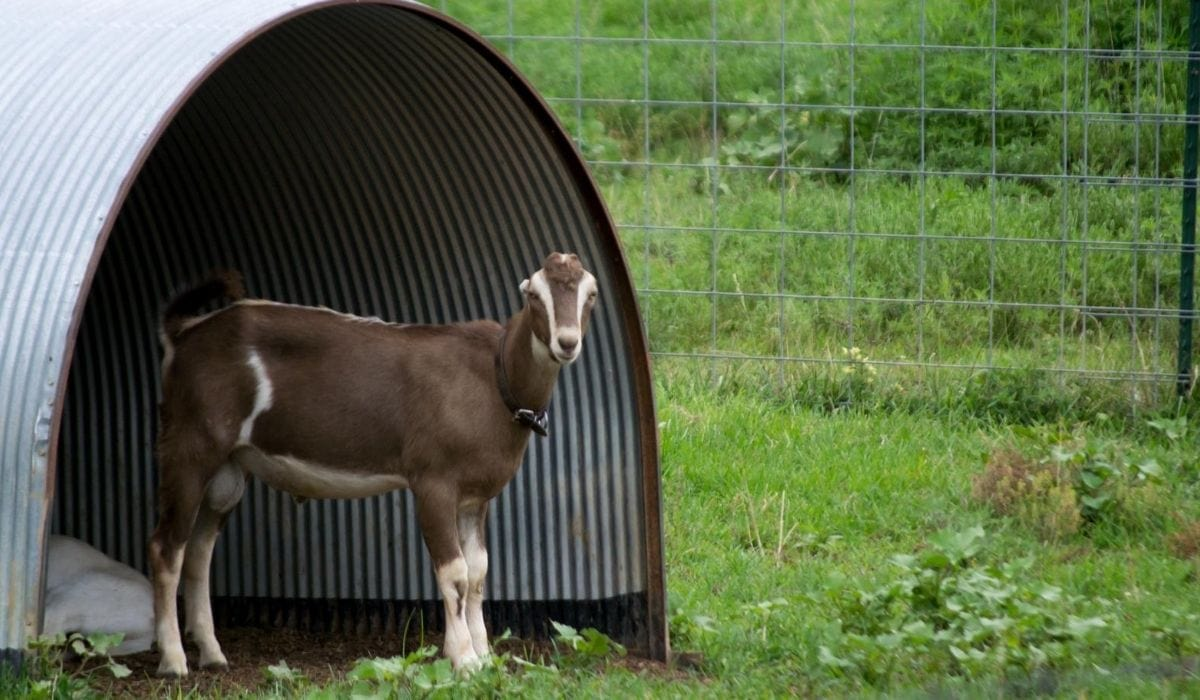 Goat and Shelter