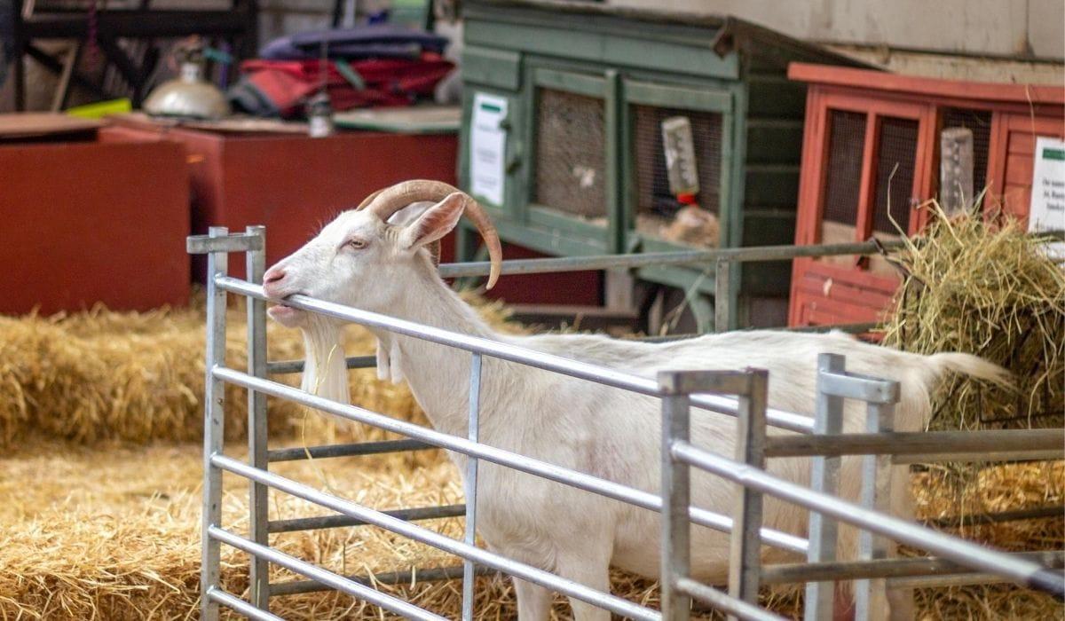 Goat Biting the Metal