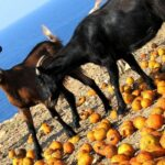 What Fruits Can Goats Eat?