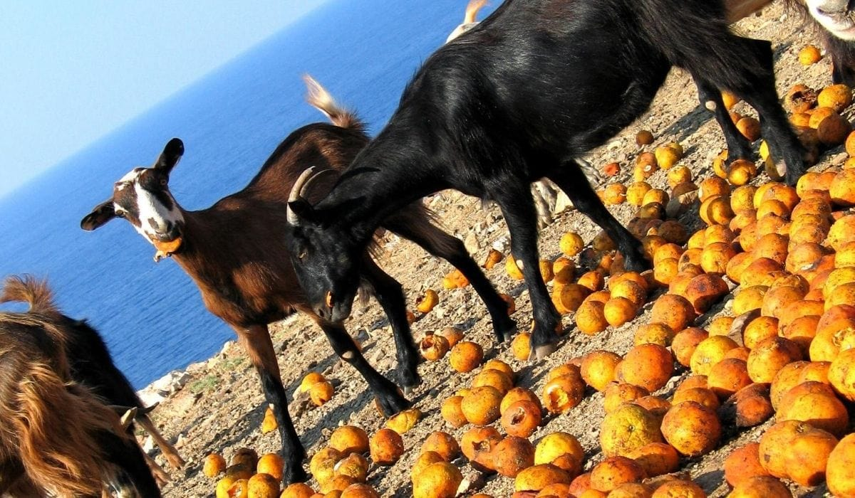 goat eating oranges