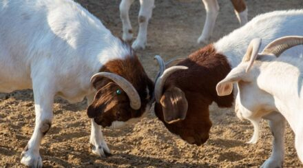 Goat Behavior: Why They Paw, Stomp, Bite, Headbutt and Act Out